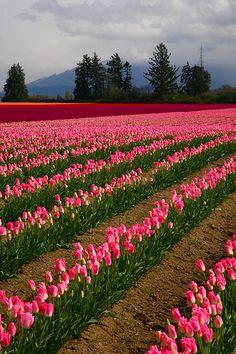 Tulips, Skagit Valley Tulip Festival, Mount Vernon, Washington