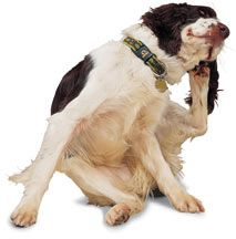 Dogs with Itchy Skin - Why they Itch and How to Help