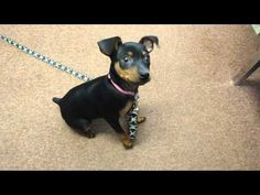 The Miniature Pinscher is commonly thought of as a mini Doberman because of the similar appearance. Find out more about this small and spunky breed. Mini Doberman, Miniature Doberman, Doberman Funny, Doberman Dogs, Purebred Dogs, Doberman Pinscher, Mini Pinscher, Miniature Pinscher, Losing A Dog
