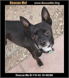 Rescue Me ID: 15-02-19-00280Parker (male)  Chihuahua Mix    Age: Adult  Compatibility:	 Good w/ Most Dogs, Good w/ Most Cats, Good w/ Kids and Adults  Personality:	 Low Energy, Average Temperament  Health:	 Neutered, Vaccinations Current       This long legged handsome fella is Parker! He came to us as a stray, but his people never came :( Parker is a gentleman who is very sweet, loving, and has great behavior. He is good with other dogs, cats, and kids. He is about 6 to 7 years young and is…