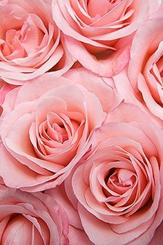 rosecottage.quenalbertini: Pink Roses