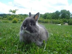 A Jersey Wooly = Best Bunny Ever