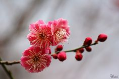 pink plum blossom | Flickr - Photo Sharing!
