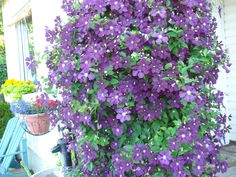 Beautiful Clamatis Vine on porch post!