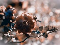 Uta Naumann: Rose - Leinwandbilder auf Keilrahmen