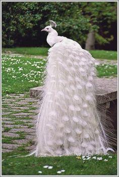 White Peacock Tail.