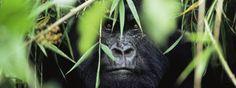 http://www.worldwildlife.org/species/gorilla