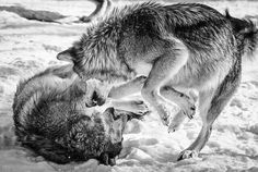 #Mexican #wolf #wolves #blackandwhite #Olympus