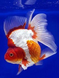 Types Of Goldfish - The Goldie Identification Guide Ryukin Goldfish, Comet Goldfish, Koi, Saltwater Aquarium Beginner, Goldfish Types, Turtle Aquarium, Golden Fish, Freshwater Aquarium Fish, Beautiful Fish