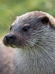 What Is Otter Silently Contemplating Here? — The Daily Otter Otters Cute, Otter Love, Selfies, River Otter, Animal Magic, Wild Creatures, True Art, Cute Baby Animals, Mammals