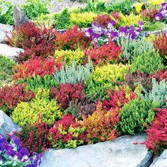 Small Evergreen Garden Shrub Spring Charm 9cm Pot Heather Calluna vulgaris Spring Torch/'