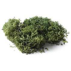 Reindeer Moss     Real greenery for the smallest garden!