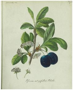 Eclectic historic science and art images from rare books and prints Vegetable Illustration, John James Audubon, Peach Flowers, Gardening, Botanical Prints, Hand Coloring, Art Images, Flora, Artist