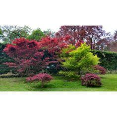 Acero giapponese- giardino Sigurtà