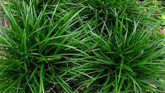 Carex foliosissima 'Irish Green' (zegge), mooie soort, wintergroen, geschikt voor kleinere en grotere plantvakken