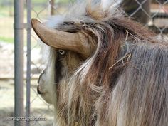 Information about our Miniature Silky Fainting Goat buck, San Sujo Buster Brown, at GottaGoat Farm. Fainting Goat, Goats, This Is Us, Miniatures, Horses, Brown, Animals, Animales, Animaux