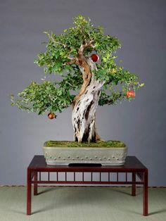 Massive trunked pomegranate Bonsai