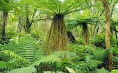 Tree Fern (Dicksonia sp) and ground cover of Crown Ferns (Blechnum discolor) in temperate rainforest, Stewart Island, New Zealand Exotic Plants, Cactus Plants, Garden Plants, House Plants, Tree Scenery Wallpaper, Fern Life Cycle, Types Of Ferns, Tree Fern, Most Beautiful Wallpaper