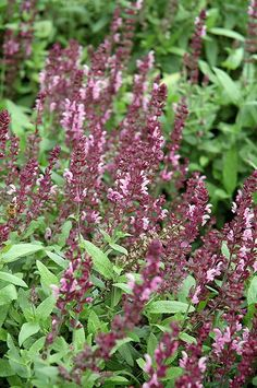 Find Sallyrosa™ Jumbo Pink Meadow Sage (Salvia nemorosa 'Sallyrosa Jumbo Pink') in Lancaster York Harrisburg Pennsylvania PA at Stauffers Of Kissel Hill (Perennial Salvia) Meadow Sage, Outdoor Pots, Low Maintenance Plants, Herbaceous Perennials, Ornamental Plants, Plant Sale, Types Of Soil, Salvia, Container Plants