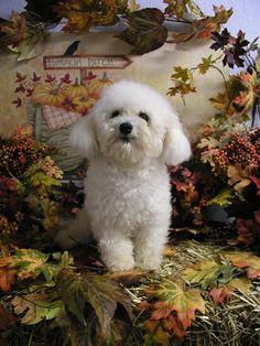 autumn bichon frise