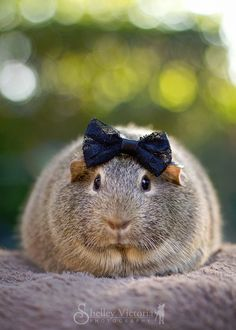 Not a dog. But a guinea pig with a cute bow!!!!!!