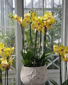 Talvipuutarha, Helsinki Wintergarden, Finland  #talvipuutarha #helsinkiwintergarden #palmusunnuntai #palmsunday #orkidea #orchid #orchids #world_bestangels #allwhatsbeautiful #almostperfect_yellowpink #nature_yellow #asi