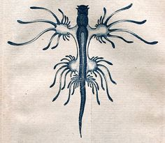 Glaucus atlanticus by Johann Friedrich Blumenbach