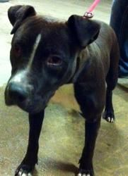 Mustang Sally #30782 is an adoptable Pit Bull Terrier Dog in Baton Rouge, LA.   All dogs in the adoption program are examined by a veterinarian, vaccinated, spayed/neutered, and micro-chipped prior ...