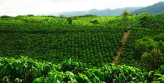 Image Search Results for cafe colombiano cultivos Vietnam, Cultural Beliefs, Colombian Coffee, Arabica Coffee Beans, Coffee Farm, Girl Cooking, Big Island, Best Coffee, Image Search