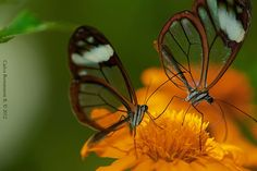 Couple of Ithomiinae butterflies. Santa Elena, Antioquia, Colombia
