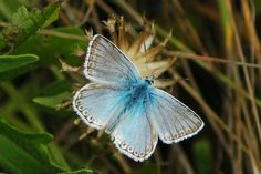 Blue Butterflies | We Love Butterflies,  Chalkhill Blue