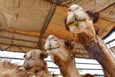 Roadtrip, Camel, Animals, Travel Report, Animales, Animaux, Animal, Animais, Dieren
