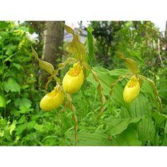 Garten Orchideen Cypripedium Pubescens ☆ Freiland Gelbe Frauenschuh Orchideen bereit zu pflanzen: Amazon.de: Garten
