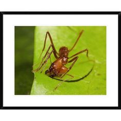 16 Best Leaf Cutter Ants Fungus Images Ant Ant Fungus Ants