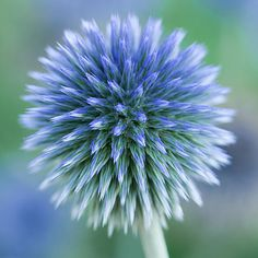 Close Up Of Blue Globe Thistle Photograph - Close up photography pictures