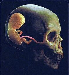 fetus brain