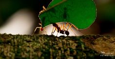 Leaf-cutter ants are incredible farmers that know how to keep a fungus garden growing.