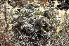Siempreviva zig-zag (Limonium papillatum) w
