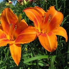 Hemerocallis 'Burning Daylight' Fragrant glowing orange flowers.