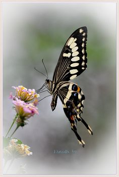 Let's have a board of butterflies, art, illustration, fashion and real - we will give this metamorphosed creature our Ethereal point of view. Types Of Butterflies, Flying Flowers, Butterflies Flying, Beautiful Bugs, Beautiful Butterflies, Butterfly Kisses, Butterfly Wings, Butterfly Cocoon, Butterfly Pictures