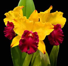 Blc. Tainan Gold 'Canary' - http://pinterest.com/judithburzell/ - #orchids I love