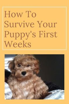 10 Easy Tips To Survive Life With A Brand New Puppy - Waggy Tales Ten Tips for New Puppy Owners 10 tips to help you through the first few weeks with a new puppy. how to survive your puppies first weeks Puppy Training Tips, Training Your Dog, Agility Training, Training Collar, Dog Agility, Training Plan, Potty Training, Puppy Care, Dog Care