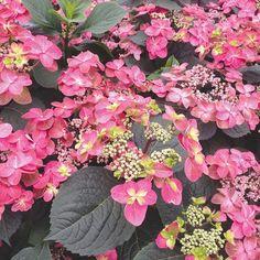 Red Hydrangea, Climbing Hydrangea, Hydrangea Care, Fall Flowers, Colorful Flowers, Pink Flowers, Backyard Plants, Garden Plants, Garden Shrubs