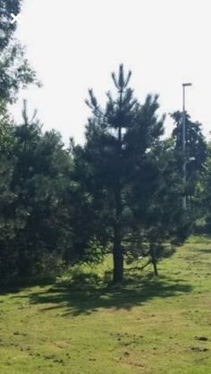 Spar Latijnse naam: Picea
