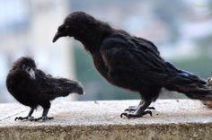 Nadel Felted Vogel. Schwarze Krähe.