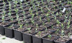 Buxus - plants