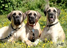 The four breeds most commonly called Mastiffs are the English Mastiff, the Neapolitan Mastiff, the Bull Mastiff and the Tibetan Mastiff. American Mastiff, American Foxhound, Top Dog Breeds, Rare Dog Breeds, Dogs Of The World, In This World, Dog Photos, Dog Pictures, Mastiff Dogs