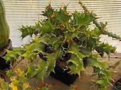 Euphorbia groenewaldi