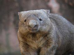 Wombat Fat Animals, Capybara, Quokka, Australian Animals, Wombat, My Spirit Animal, Pugs, New Zealand, Wildlife