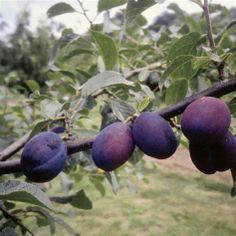 Plommon | Blomsterlandet.se Plommon CZAR('The Czar') Prunus domestica CZAR('The Czar')